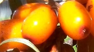 Чем полезны ягоды облепихи