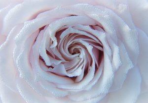 Роза в росе
